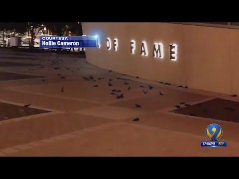 Jeff Kent - Hundreds of birds fly into NASCAR hall of fame