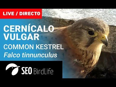 Cernícalo vulgar- SEO/BirdLife
