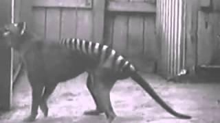 Тасманский тигр Вымершие животные