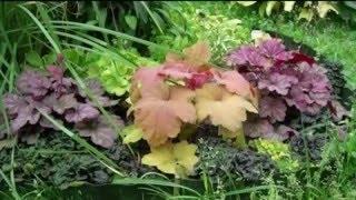 Цветы гейхера. Прекрасное растение гейхера