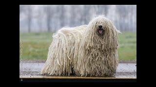 トップ10最も珍しい犬の品種 今日は世界各地で数百の異なる犬種が走って...