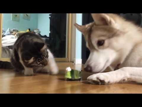 Сибирский Хаски, и все о породе собак.