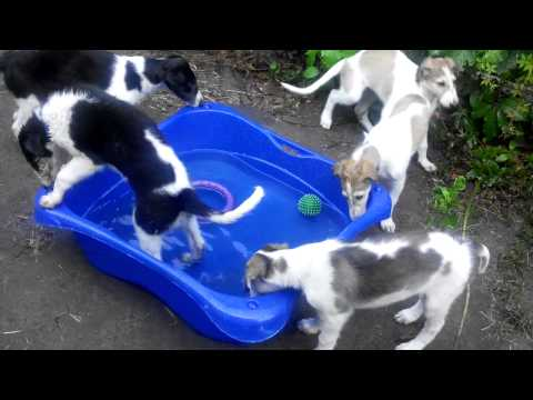 Borzoi puppies and new pool