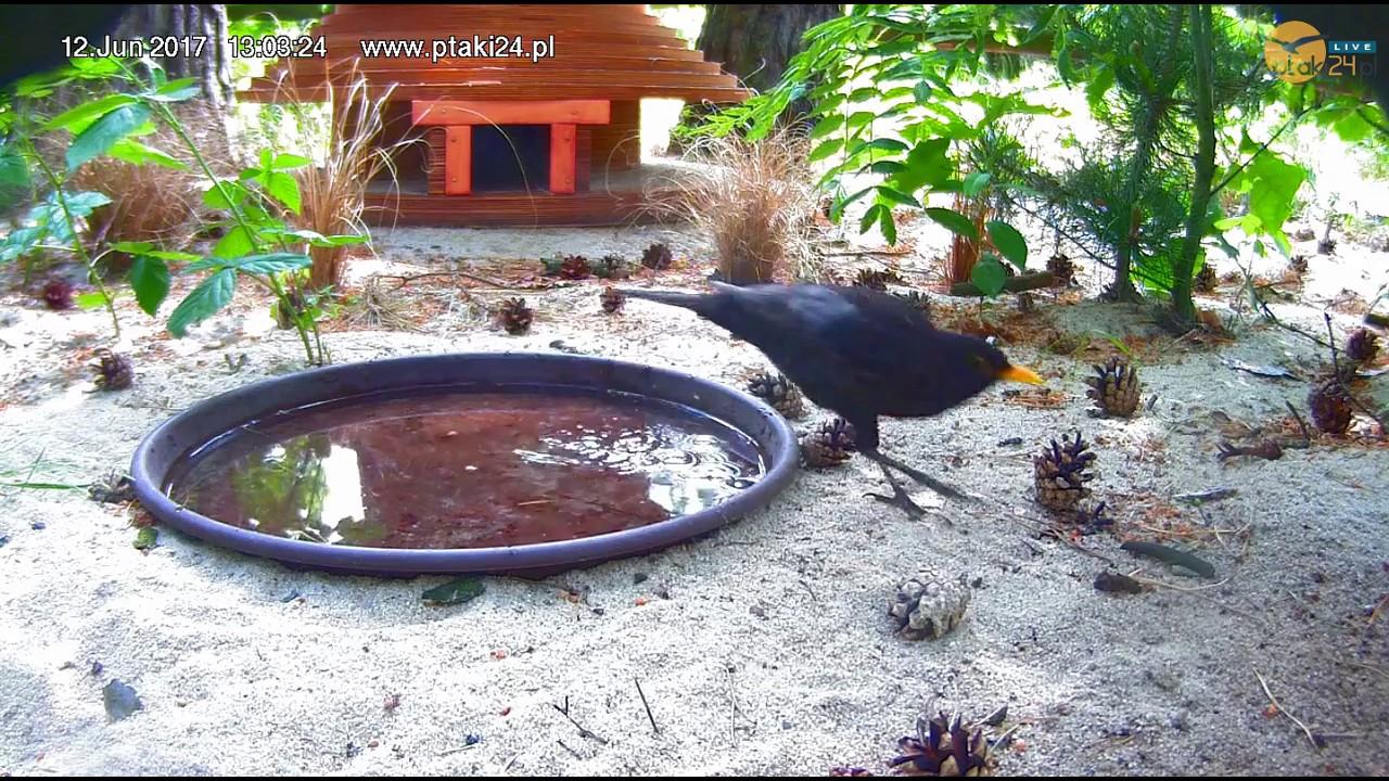 Pluskające się sikorki bogatki i kos w pojemniku z wodą przed domkiem dla jeży