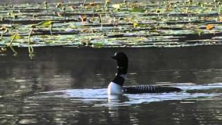 Common Loons and calls