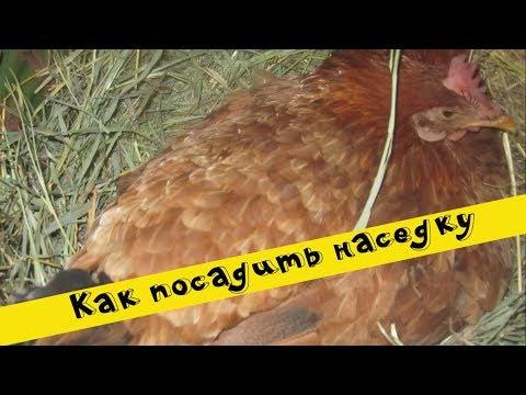 Вопрос: Сколько будет квохтать курица, если ее не садить на яйца?