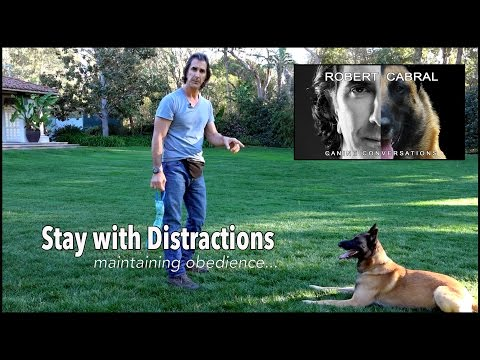 Teach Your Dog to  STAY - Robert Cabral Dog Training Video #5