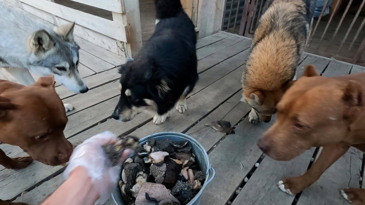 Кормление собак : Волков, Питбулей, Дворняжек и кошек.
