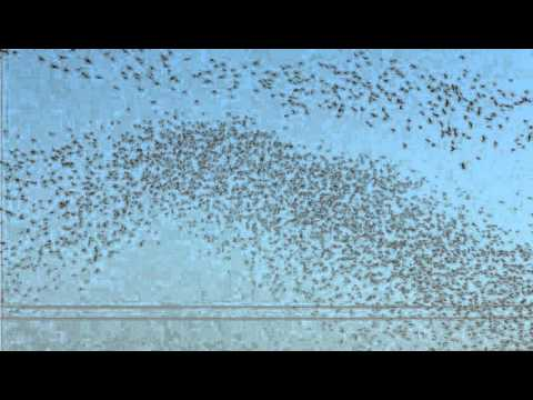 Migratory birds flocking like a school of fish 2