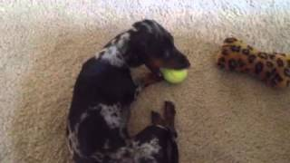 Mini Dapple Dachshund Plays With His Favorite Ball