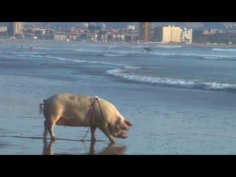 Insólito: un cerdo disfruta de las playas chilenas