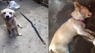 Liều mình cắn rắn độc cứu chủ, hình ảnh em cún nở nụ cười trước khi c.h.ế.t lấy nước mắt nghìn người