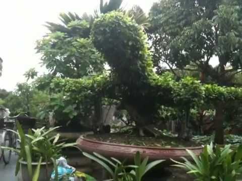 cây cảnh may bay hang khong dan dung đẹp việt nam airlines VNA