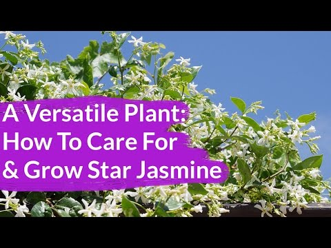 A Very Versatile Plant: Star Jasmine Care & Growing Tips / Joy Us Garden
