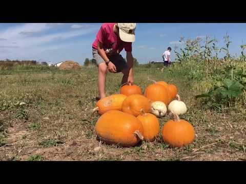 Pumpkin Harvest and Feral Babies
