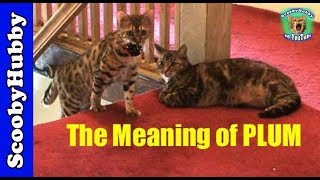 The Meaning of PLUM -- Cat Clips #142