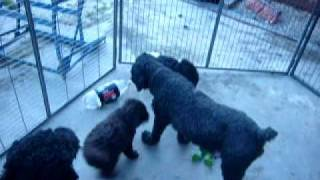 Lily and Gracie pups at 6 weeks in outside puppy pen