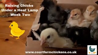 How to raise chicks under a heat lamp - week Two