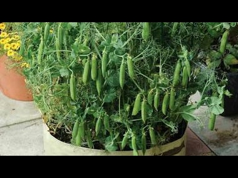 How to grow green peas / Matar from seeds|| best way to grow peas