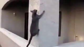 Чудеса ловкости кошек