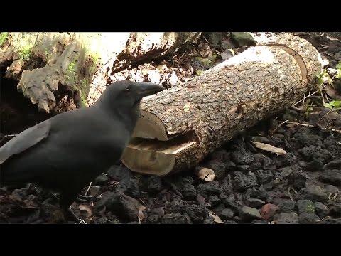 'Alalā - Hawaiian crows use tools