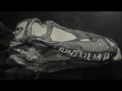 Daspletosaurus juvenile skull (cast), Museum of the Rockies, Bozeman, Montana