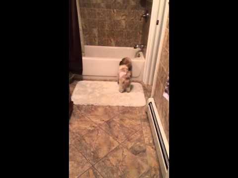 Independent Shih Tzu Puppy Playing Fetch Alone