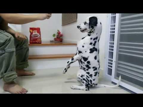 Rambo the smart dalmatian