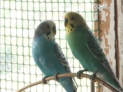 Лапы и хвост 07.08.2016. Волнистые попугаи