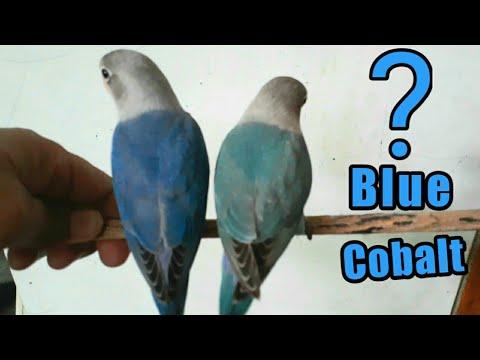 Perbedaan Lovebird Biru Mangsi Dan Cobalt
