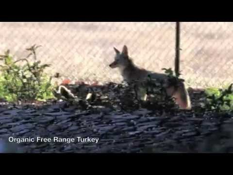Coyote and the Turkey Dinner