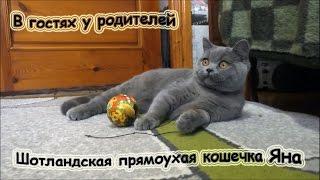#34 Шотландская прямоухая кошечка Yanina Cat Joy. Scottish straight cat.