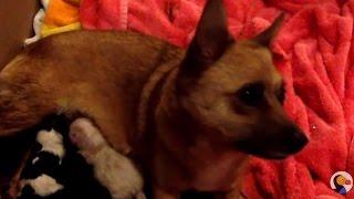 LIVE Dog Birth: FOUR Puppies Born LIVE | The Dodo LIVE