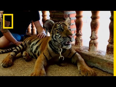 What's Driving Tigers Toward Extinction?   National Geographic
