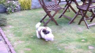 Summer The Shih Tzu Puppy Going Crazy In Garden With Bunny 14 Weeks