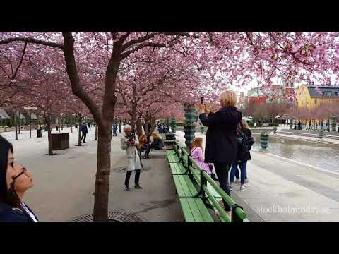 stockholm today cherry blossom 2018