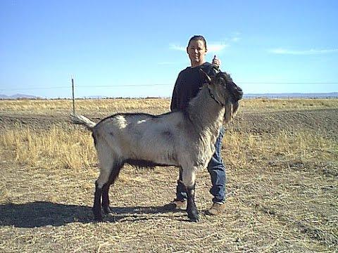 Breeding Dairy Goats