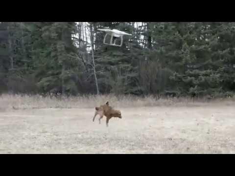 Вопрос: Как выгуливать собаку при помощи дрона?