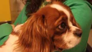 Biagio Doesn't Want To Pee - Cavalier King Charles Spaniel Funny Dog Video