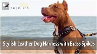 Chic Spiked Leather Dog Harness On Pit Bull
