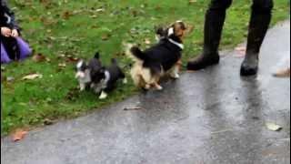 Welsh Corgi Mix Puppies - Www.greenfieldpuppies.com