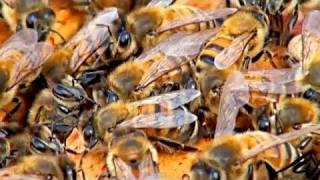 Beekeeping or apiculture -  honey bee colonies