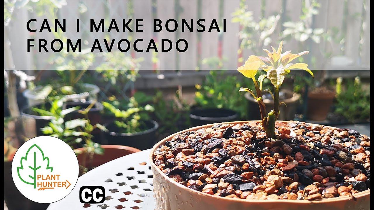 Can I Make Bonsai From Avocado Planthunter Youtube