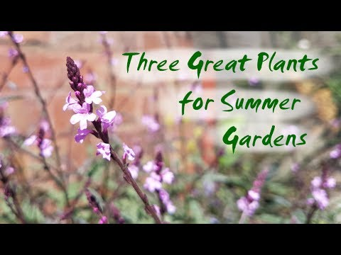 Three Great Plants for Summer Flowers | Nicotiana, Salvia and Verbena