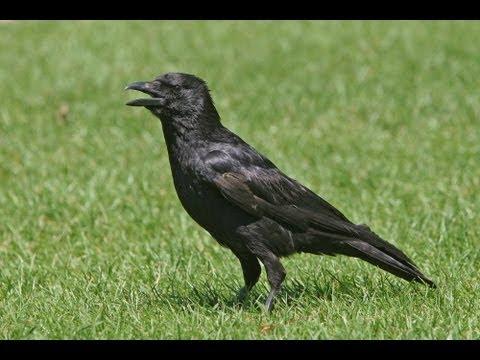 BTO Bird ID - Corvids - Crow, Rook, Raven