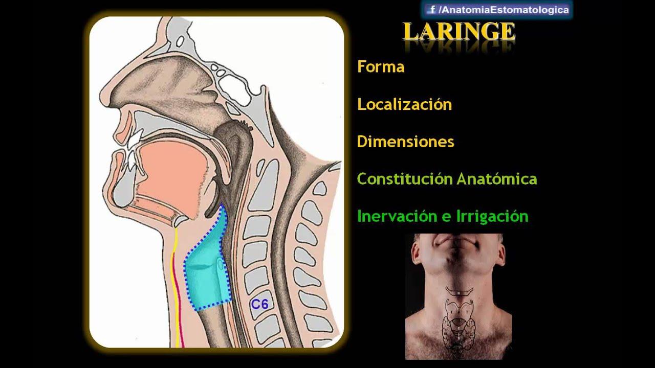 Drs. Abad & Matos - Faringe y Laringe - YouTube