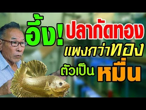 ลุงอ๋า โคตรเซียนปลากัด เพาะพันธุ์ปลากัดทอง แพงยิ่งกว่าทอง