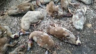 Трагедия в сельском хозяйстве,с утками(((((Кто это натварил???ЛАСКА АТАКУЕТ???