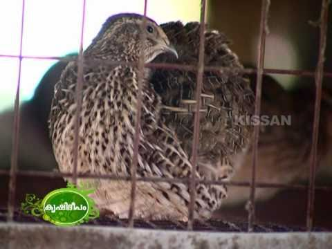 Success story on quail rearing (Kada)  as a business enterprise
