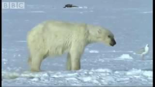 Как белый медведь охотится